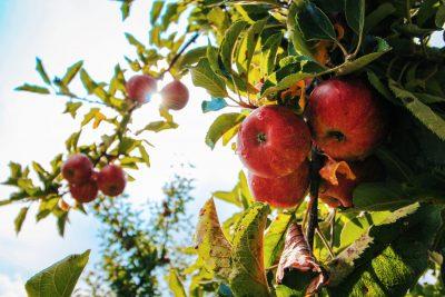 apples tree