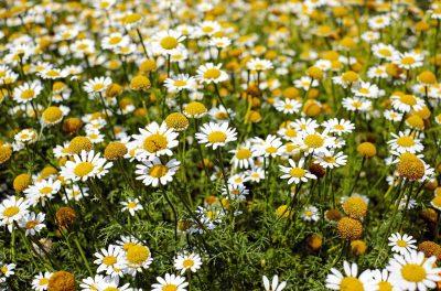 bertram-root-medicinal-herbs-flowers-bloom chamomile