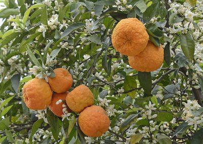 bitter orange citrus aurantium