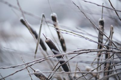 cattail winter frozen