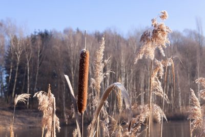 cattail-with-other-plants