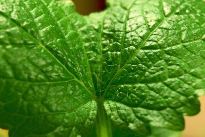 lemon balm melissa leaf