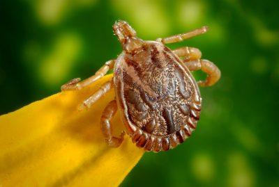 tick brown bug