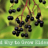 How and Why to Grow Elderberry