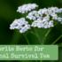 My Favorite Herbs for Medicinal Survival Tea
