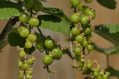 elderberry green growing