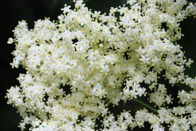 elderberry white flowers