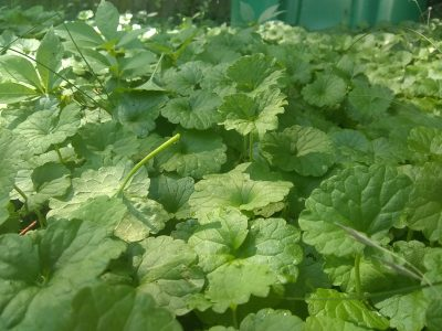 ground ivy patch