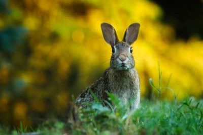 rabbit in wild