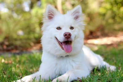 white dog fluffy cute