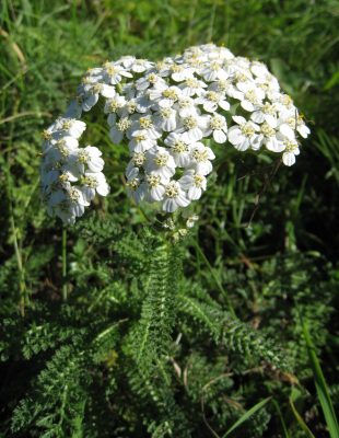 yarrow overview
