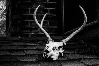 antler animal bone