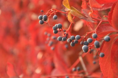 berry bird tree