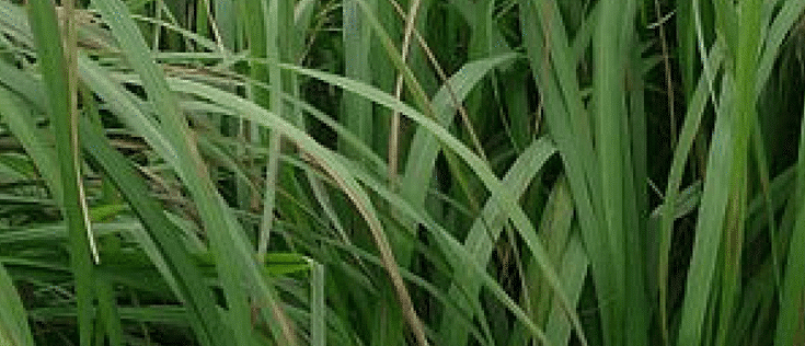 Citronella Essential Oil Benefits for the Outdoors