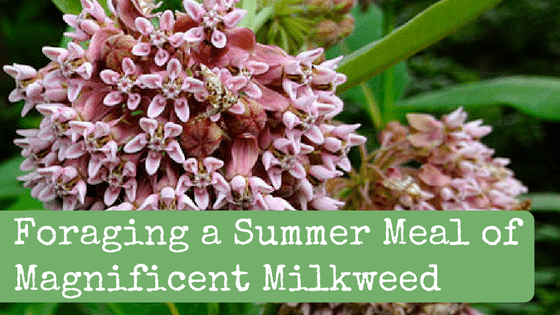 Foraging a Summer Meal of Magnificent Milkweed