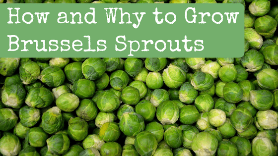 How and Why to Grow Brussels Sprouts