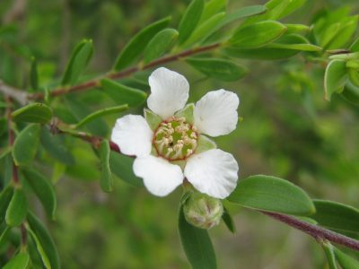 tea tree flower