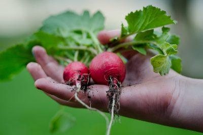 beets vegetables gardening