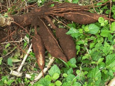 cassava-root-tuber