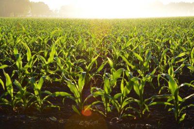 corn plant gardening growing