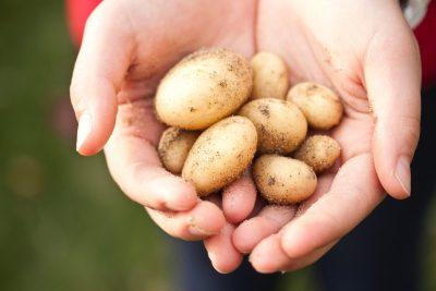 potato in hands