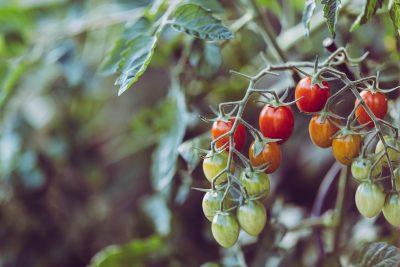 tomatoes growing gardening