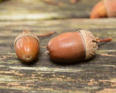 acorn - best natural dyes