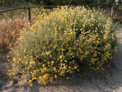 health benefits Helichrysum essential oil