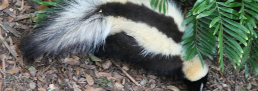 Skunked: Solutions For Eliminating Skunks and Odors from Pets and Property