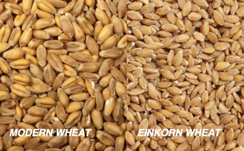 Einkorn Wheat: An Alternative For Those That Are Sensitive To Most Commercial Wheats