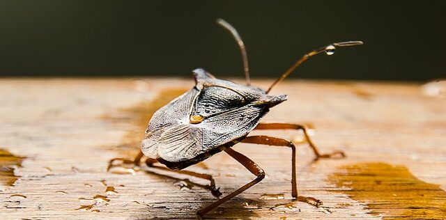 Natural Solutions For Stink Bugs and Lady Bugs