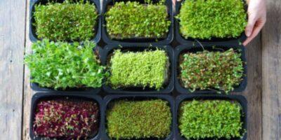 11 Best Microgreens to Grow