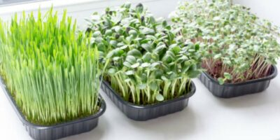 How to Grow Microgreens Indoors: A Guide for Beginners